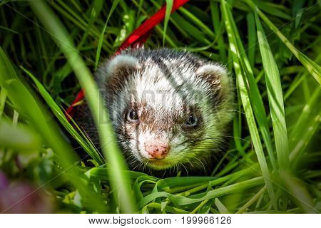 portrait of young sable ferret in the grass