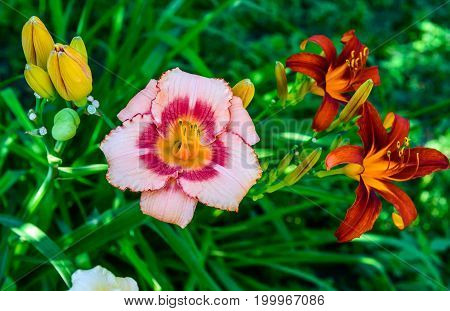 Different grades of daylilies on a flowerbed