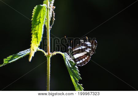 Neptis sappho, Common Glider butterfly resting on a leaf. Black and white butterfly in natural habitat