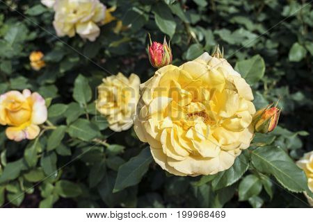 yellow blossom roses among green bush leaves