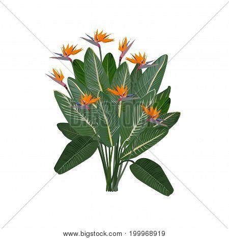 Bush of a royal strelitzia (Strelitzia reginae) in the color vector image on a white background
