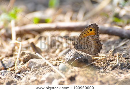 Arethusana arethusa, False Grayling butterfly in the grass. Butterfly in dry grass