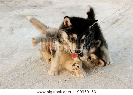 Puppies of the Alaskan malamula close-up play on sand in summer