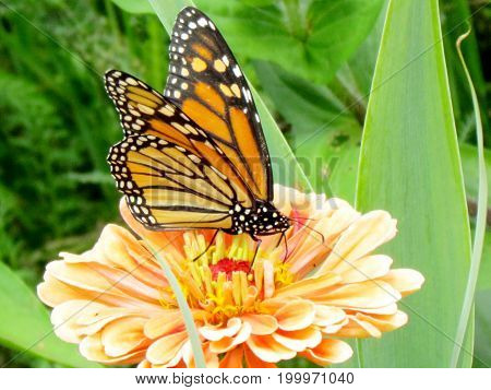 Monarch Butterfly and flower stamen in High Park of Toronto Canada