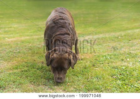 Brown Chocolate Labrador Dog on the grass