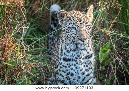 A Young Female Leopard Starring At The Camera.