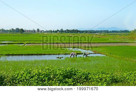 Farmers working in the rice field in Da Nang. Vietnam. Unidentifiable unrecognizable faces.