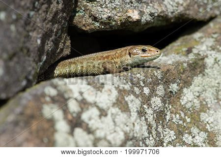 Common Lizard (Zootoca vivipara) basking on lichen covered stone wall