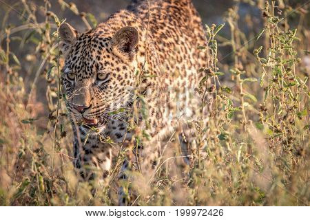 A Leopard Walking In The Grass.