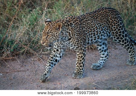 A Leopard Walking On The Road.