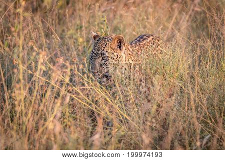 A Leopard Hiding In The Grass.