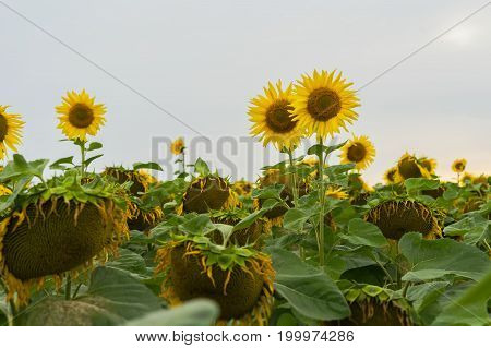 Sunflower field in August cloudless evening after rain. Sunflower field in August cloudless evening after rain. Summer background on different topics