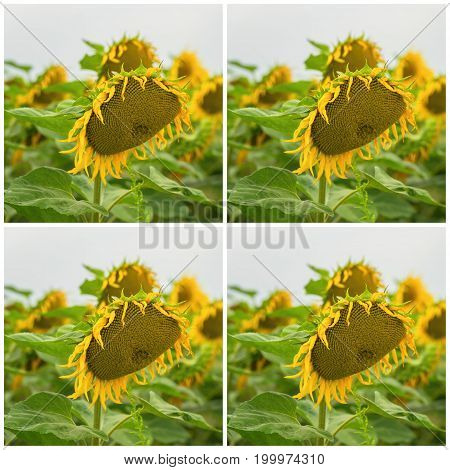Collage of organic fresh sunflowers in a field close-up. Beautiful summer square background on different topics