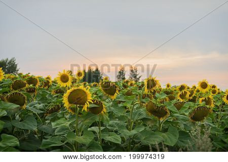 Sunset in the summer in a farmer's field with flowering sunflowers. Natural summer background on different topics. With place for your text