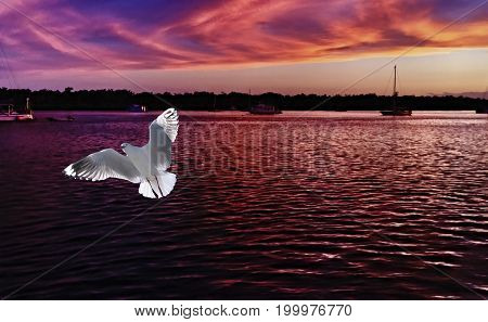 A Vibrant white seagull in full flight with a dark mauve sunrise seascape backdrop. Photographed at Lake Macquarie Central Coast New South Wales Australia