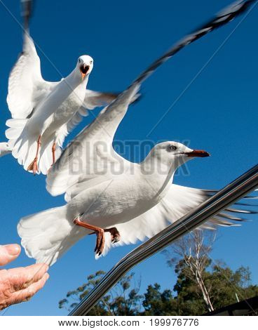 Two squabbling seagulls in a feeding frenzy fighting in full flight to take food from a ladies hand. Photographed at Lake Macquarie Central Coast New South Wales Australia