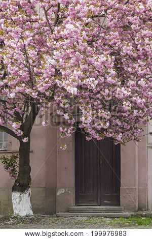 Pink sakura (flowering cherry) blossom tree in front of the building door in Uzhgorod, Ukraine