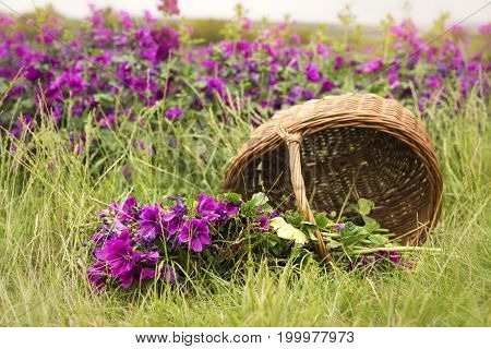 basket with mallow lying on the ground in front of purple flowerfield