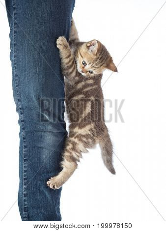 Frightened kitten cat hanging on jeans