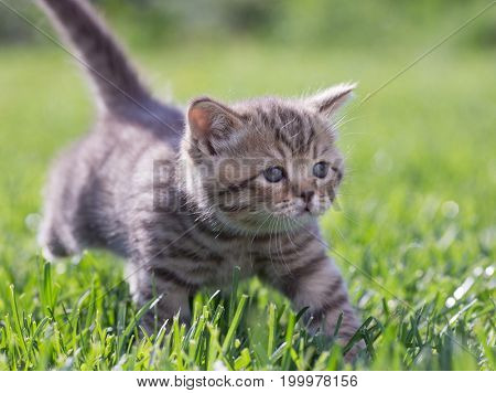 Young cat walking in green grass outdoor