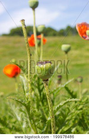 Green heads of poppy flowers in summertime