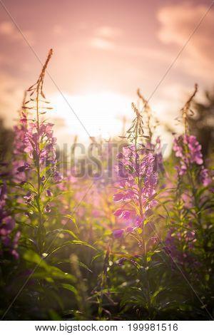 Willow Herb Ivan Tea In The Warm Summer Light.