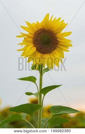 High beautiful organic sunflower in the farm field. Natural floral summer vertical background