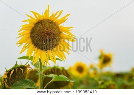 High beautiful organic sunflower, very useful and look beautiful, in the farm field. Natural floral summer background on different topics, copy space for text