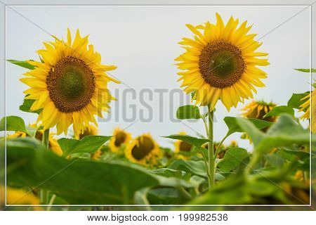 Vivid card of flowering sunflowers close-up. Natural bright modern background, pattern, wallpaper or banner design