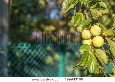 The branch of variety yellow plum has a strong flavor and a pleasant taste summer