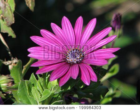 PURPLE GAZANIA FLOWER, WITH A DARK BACK GROUND