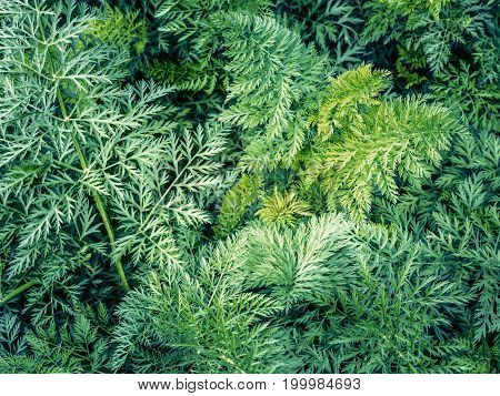 Leaves carrots tops vegetable bunch crop harvest agriculture toned background