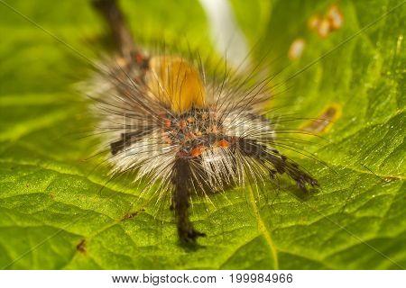 big hairy larva of butterfly. maggot of Lymantriinae