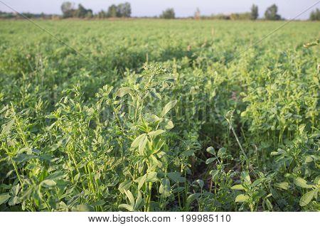 Beautiful alfalfa field. Guadiana Meadows Badajoz Spain
