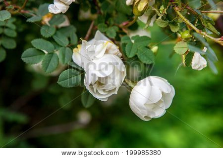 White Roses In The Garden. Photo Closeup With Selective Focus