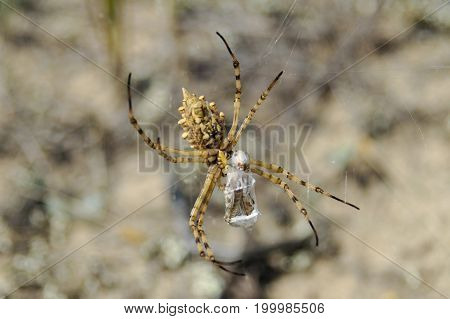 Spider is eating moth on cobweb in nature