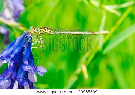 dragonfly on a blue flower. Green background with grass in the background.
