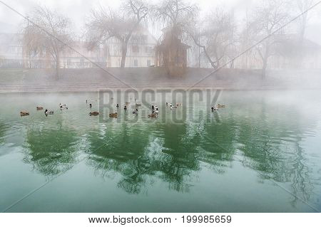 A group of wild ducks sitting on the river Ljubljanica that crosses the capital of Slovenia Ljubljana and has an amazing green color. Everything surrounded by mist.