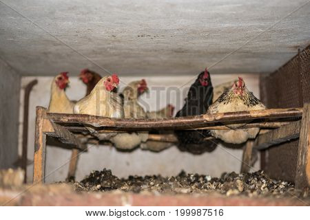 Hens In The Hen House, Household