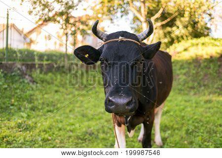 Black cow grazing in the garden flies flying around his head Ukraine