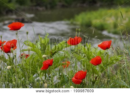 Red Field Flowers over the Struma River
