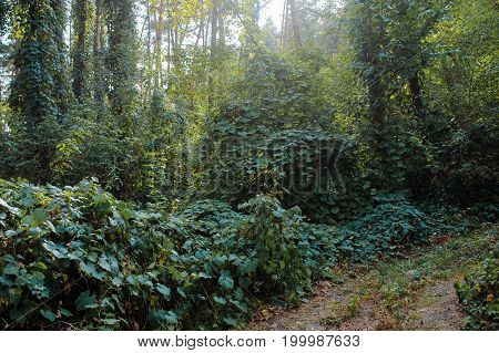 Deep Autumn Pine Forest With Warm Sunlight Illuminating Green Foliage.