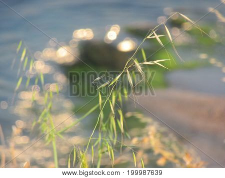 Stubble grass over the gleaming waters of the sea