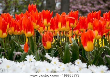 Colorful tulips in the park. Spring landscape.