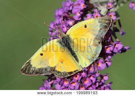 Clouded Sulphur (Colias philodice) Butterfly on Butterfly Bush Flowers