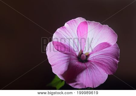 Pink hollyhock against the broun background. Close up selective focus copyspace left