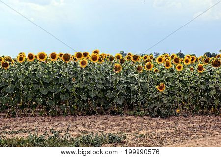 A lot of yellow blossoming sunflowers on sandy soil against the sky