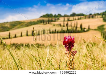 red flower on a field in tuscany with a slighty defocused winding road in the background in crete senesi Tuscany Italy