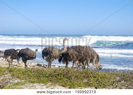 Ostriches grazing by the sea at cape point