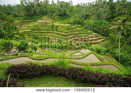 Green rice terraces on Bali island, Indonesia.